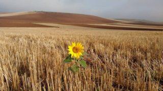 草原とひまわり